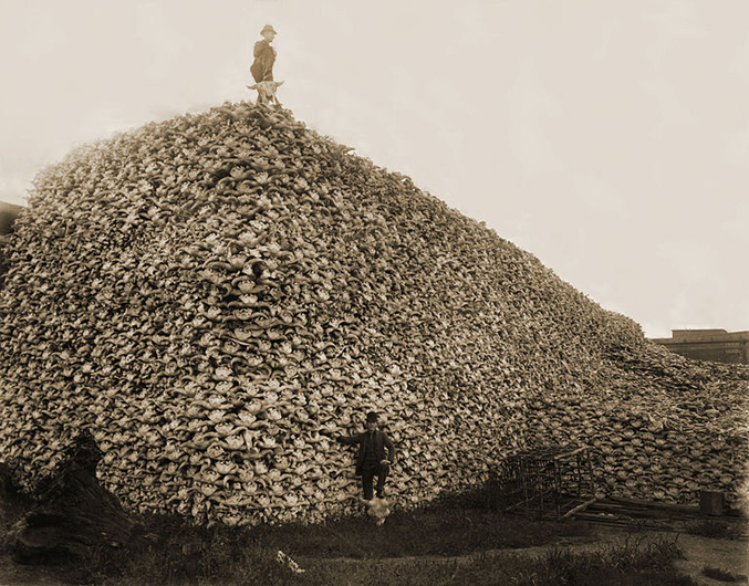 Mountain of American Bison Skulls • A mountain of of American bison skulls waiting to be ground for fertilizer (mid-1870s). Photo courtesy Wiki Commons / Burton Historical Collection, Detroit Public Library