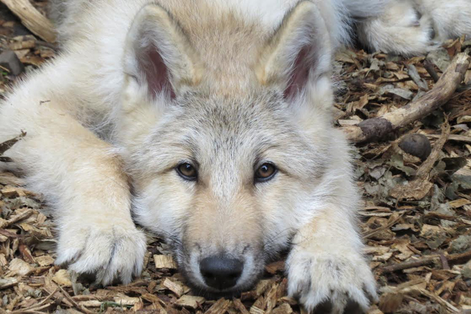 "Wolf Conservation Center's Ambassador Wolf Nikai • ""I think that there should be more candor when it comes to what goes on behind the scene when recovering species."" – Maggie Howell, Wolf Conservation Center"