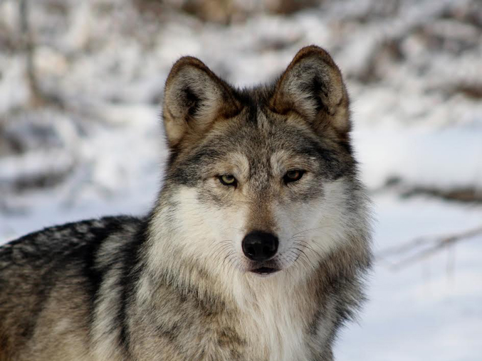 LoboWeek • The Wolf Conservation Center (@nywolforg) and a consortium of wolf-advocacy groups have declared March 23 through March 29 as #LoboWeek in an effort to get the word out.