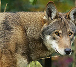 U S  Fish and Wildlife Punts on Red Wolf Recovery