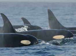 killerwhales_s
