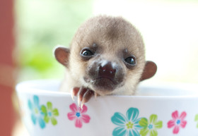 Baby Kinkajou by Sam Trull Cosmic Sister Endangered Species Coalition
