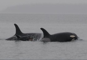 New Orca and parents