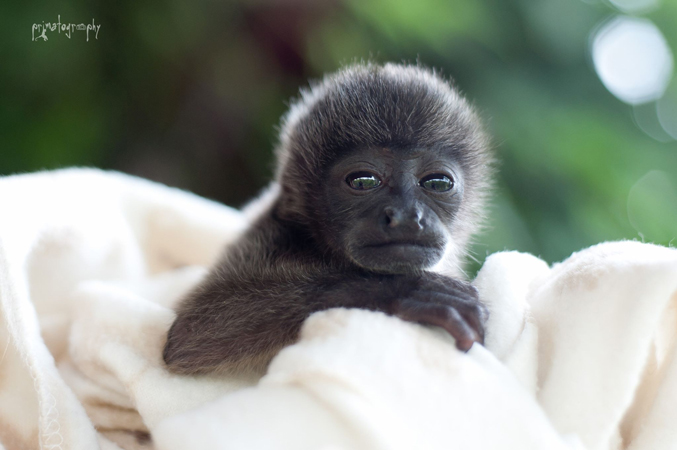 This sweet baby Howler Monkey named Tommy was raised at KSTR for a few months and was then sent to a facility that specializes in howler monkeys so that he could be introduced to other juvenile howler monkeys and someday released into the wild as a complete troop. Photo by Sam Trull
