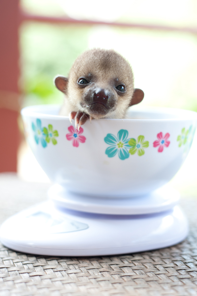 "This tiny little girl is a baby Kinkajou (Potos flavus), also known as the ""honey bear"". Sometimes you can hear them making a short, barking ""wee-wee-wee"" call at night. Kinkajous have fully prehensile tails which they use like a fifth hand when they're climbing. They are hunted for the pet and fur trade, and for their meat."