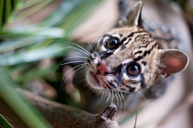 Someone killed this Ocelot (Leopardus pardalis) kitten's mother and kept the baby as a pet.