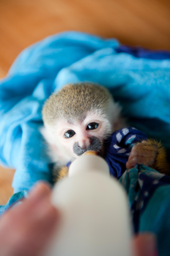 Clyde, a baby Titi monkey, is all grown up now. He was moved first into the big cage with the adult Titi monkeys, the next step in forming a troop for release into the wild.