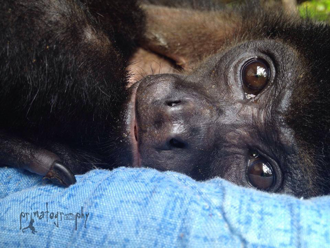 Helen the Howler Monkey after she healed from her heartbreaking electrocution.