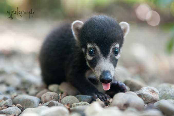 Baby Katniss is a Coati (Nasua narica), which is a member of the raccoon family. But unlike raccoons, which are mostly nocturnal, the coati is diurnal, which means most active during the daytime.