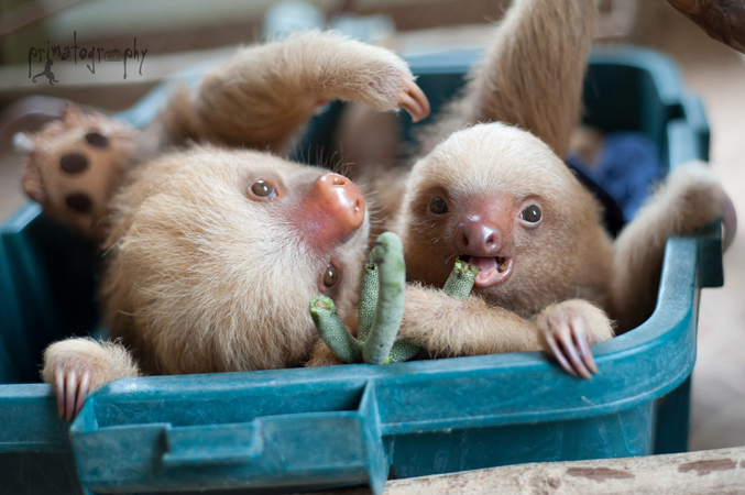 """Sam raised Kermie, a two-toed (Choloepus hoffmanni) sloth, from orphaned newborn to """"handsome young sloth"""" during a year she calls """"one of the best of my life"""". In this photo, Kermie and his friend Pelota enjoy guarumo fruit, a favorite food. Kermie has since been successfully released into the wild. Check out those cool toes! Kermie and his friend Pelota grace the cover of Sam's new photography book, Slothlove. Photo by Sam Trull."""