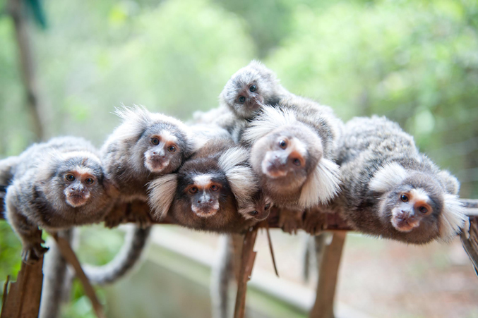 These marmosets are safe and healthy but they can not be set free.