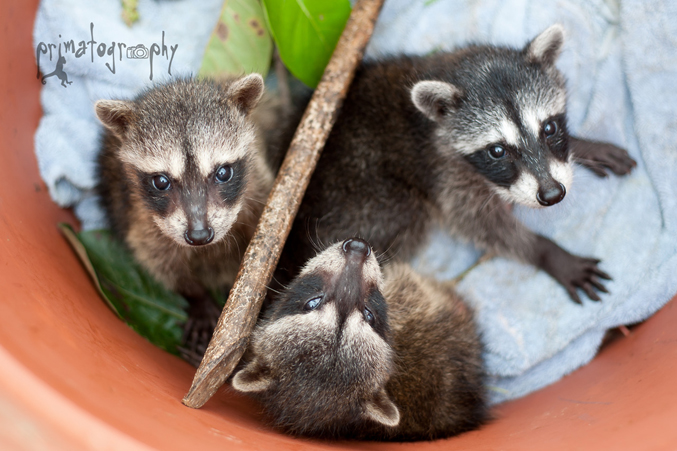 These darling baby Costa Rican Raccoons (Mapache) belong to the same feisty, clever species as the ones in North America—they just look a little different. They were between 1 and 2 months old when this photo was taken.