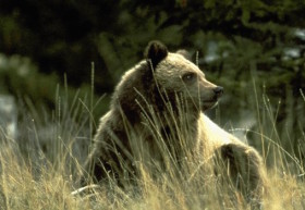 grizzlybear15