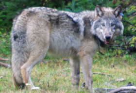 orwolf