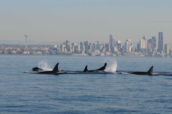 killer-whales-seattle-skyline_noaa_720