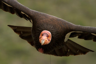 California Condor Credit USFWS