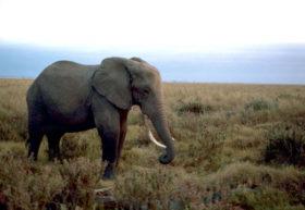 African_ElephantUSFWS