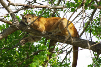 Mountain lion. Photo credit USFWS