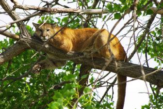 Mountain lion. Photo credit USFWS