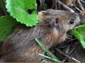 NM Meadow Jumping Mouse. Photo credit USFWS.
