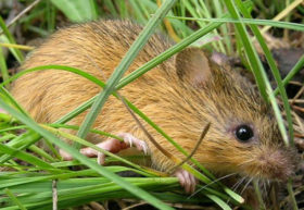nmmeadowjumpingmouse