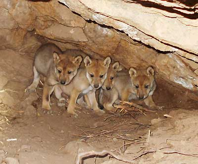 99 Percent Support Mexican Gray Wolf Recovery | Endangered