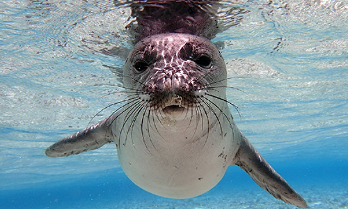 endangered pollution ocean species impacted roundup seal coalition monk animals sea marine affected water pearl