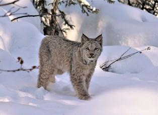 Canada lynx in snowy surroundings looking directly at viewer while standing in place