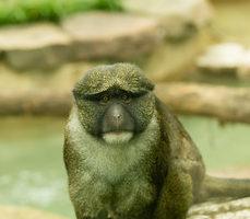 Allen's Swamp Monkey, credit Smithsonial National Zoo