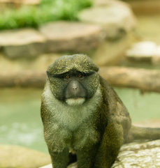 Allen's Swamp Monkey, credit Smithsonial National Zoo