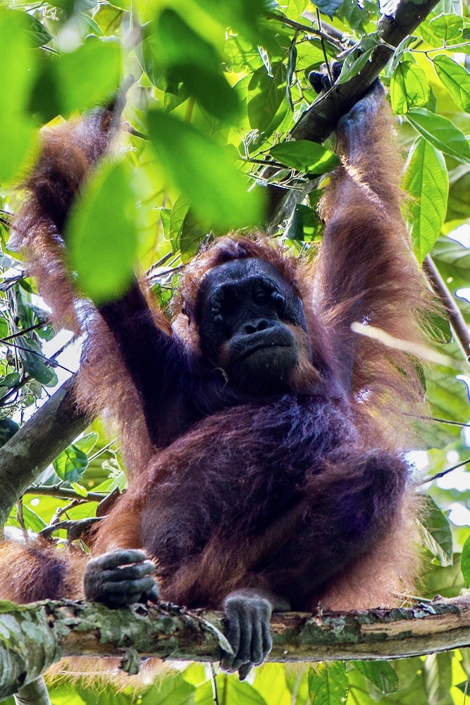 Orangutan in tree looking down