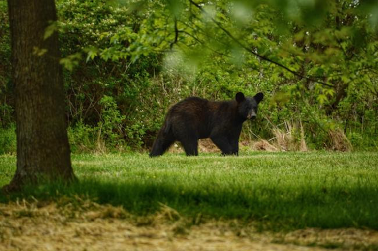 Black bear in Pennsylvania walks through grassy area surrounded by trees