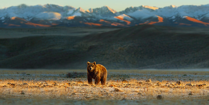 Bear in Colorado with mountains in background