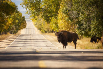 Bison crossing road in a wooded area