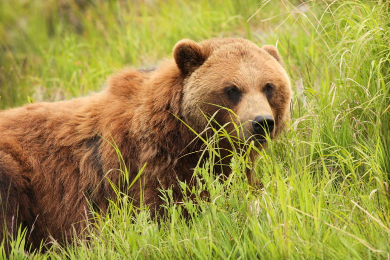 Grizzly bear in tall grass looking to the left of the viewer