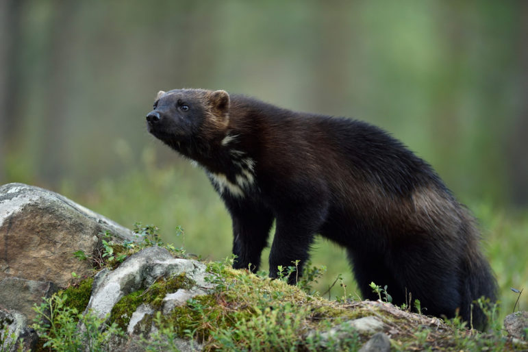 Wolverine on grassy ground looking forward