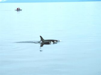 Orca and calf swim in still water with boat in background