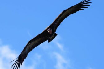 Hooded vulture soaring against blue sky with white cloud