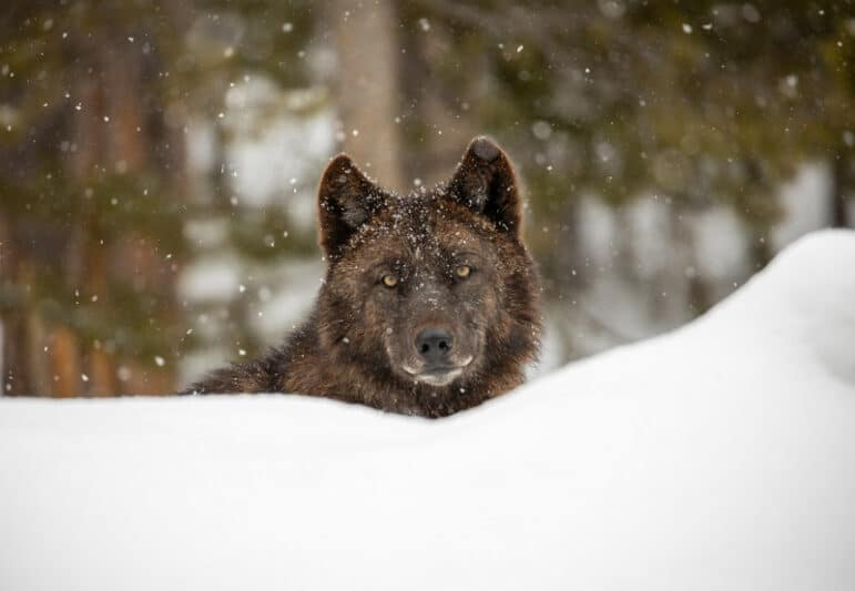 Wolf in Yellowstone in snowy environment with forested background