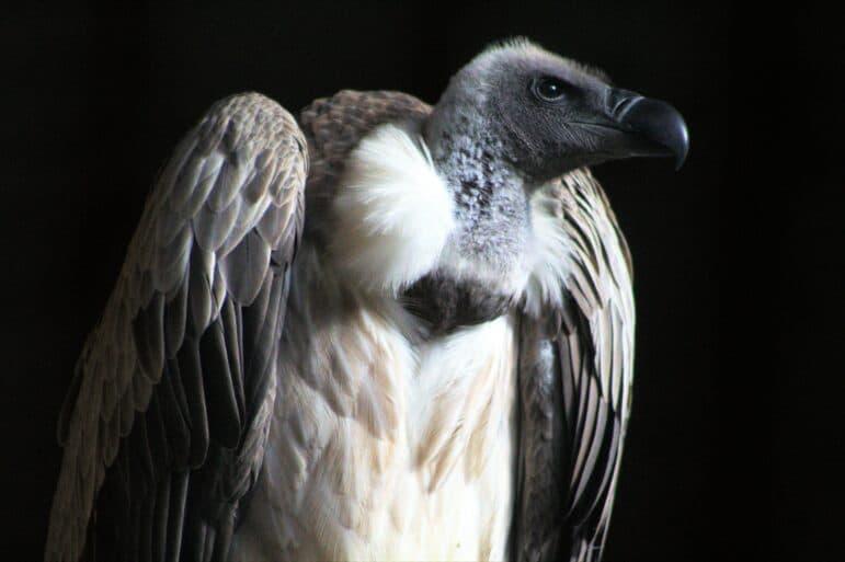 White backed vulture against black backdrop