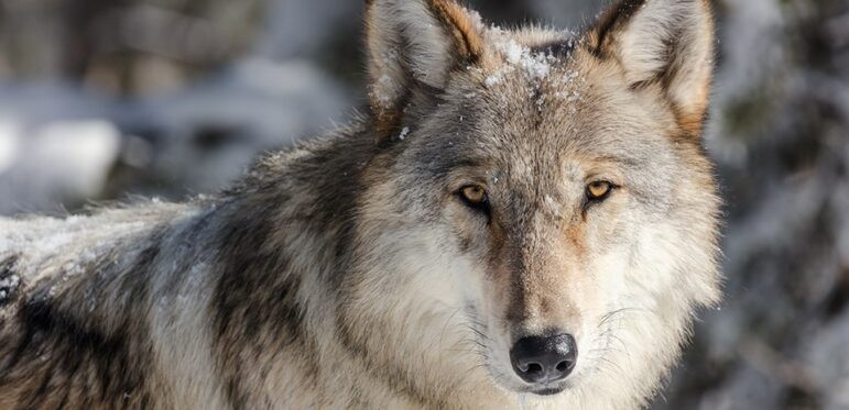 Wolf against wooded backdrop looking into camera