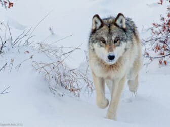 Gray wolf facing viewer standing on snowy backdrop