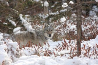 Wolf standing in snowy wooded scene wearing a tracking collar looking at viewer