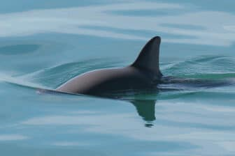 Vaquita swiming just below surface with fin exposed