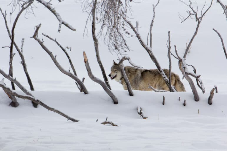 Gray wolf stands behind thicket of trees in a snowy landscape in the Northern Rockies